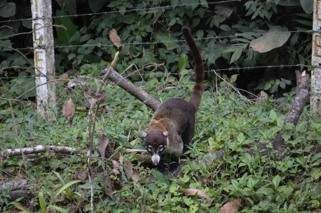 Coati au Costa Rica