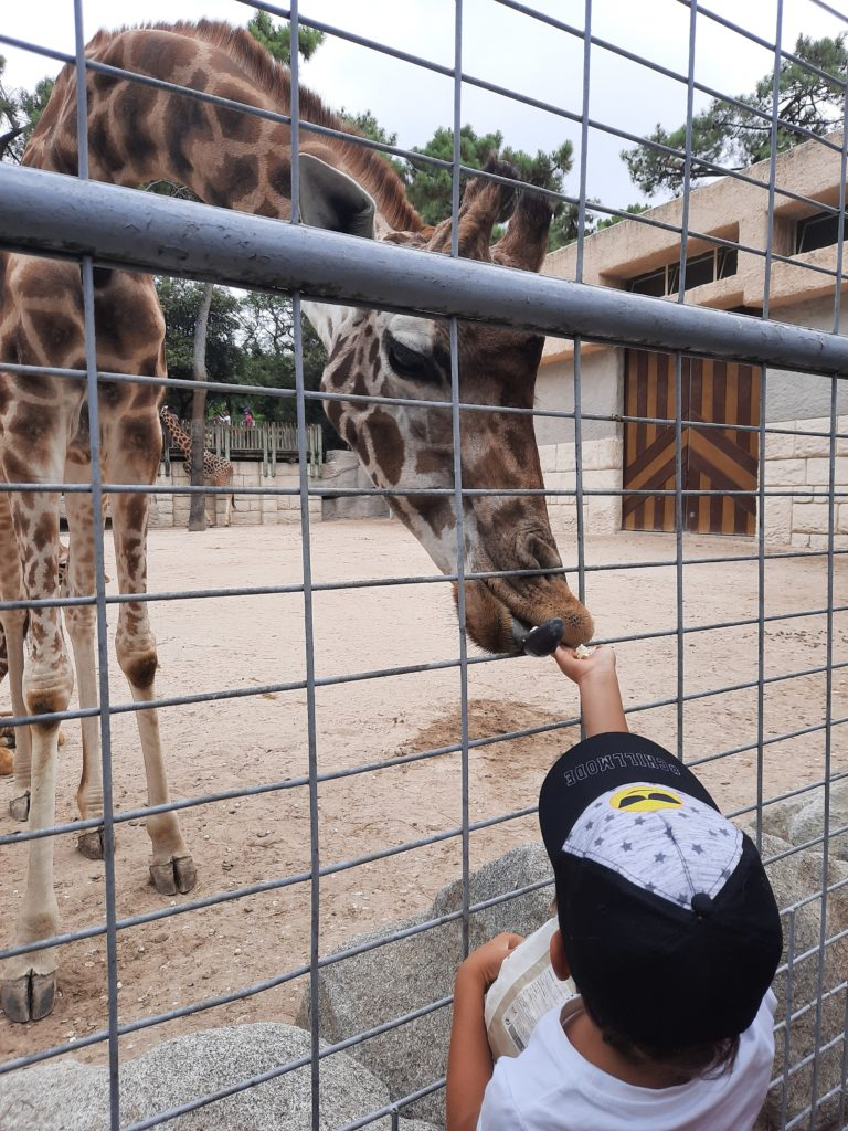 Girafes au Zoo de La Palmyre aux Mathes La Palmyre