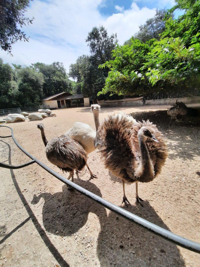Autruches au Zoo de La Palmyre aux Mathes La Palmyre